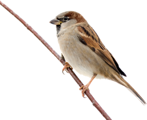 Sparrow-Free-Download-PNG