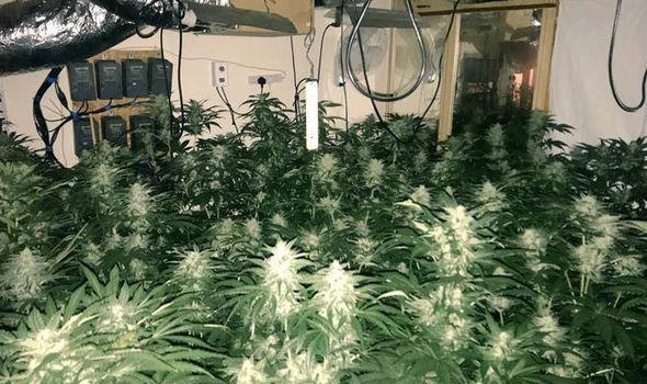 cannabis-926428